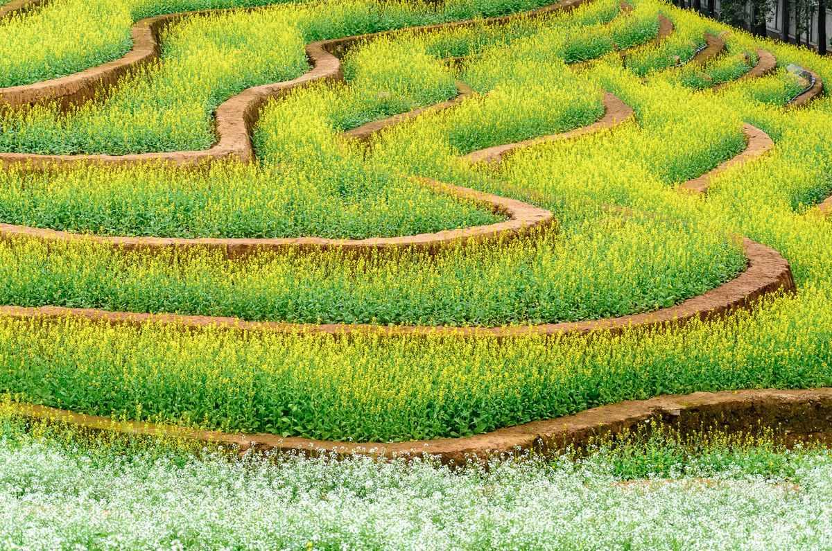 vuon-hoa-cai-the-phoenix-garden (3)